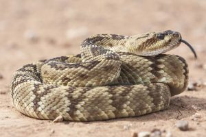A Lesson From the Sinnemahoning Rattlesnake Hunt
